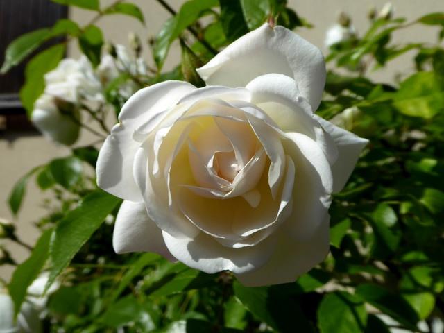 Un petit tour au jardin Rose_b11