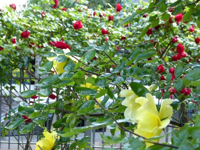 Un petit tour au jardin Roses10
