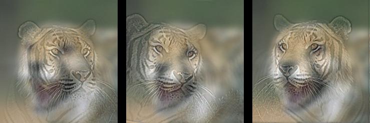 Dr. Colère et Mr. Calme - Images Hybrides Tiger_10