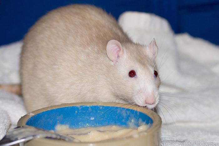 URGENT  jeune rat mâle à placer (74, 69, covoit) Img_7111