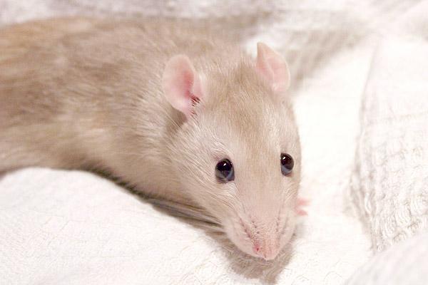 URGENT  jeune rat mâle à placer (74, 69, covoit) Retouc10