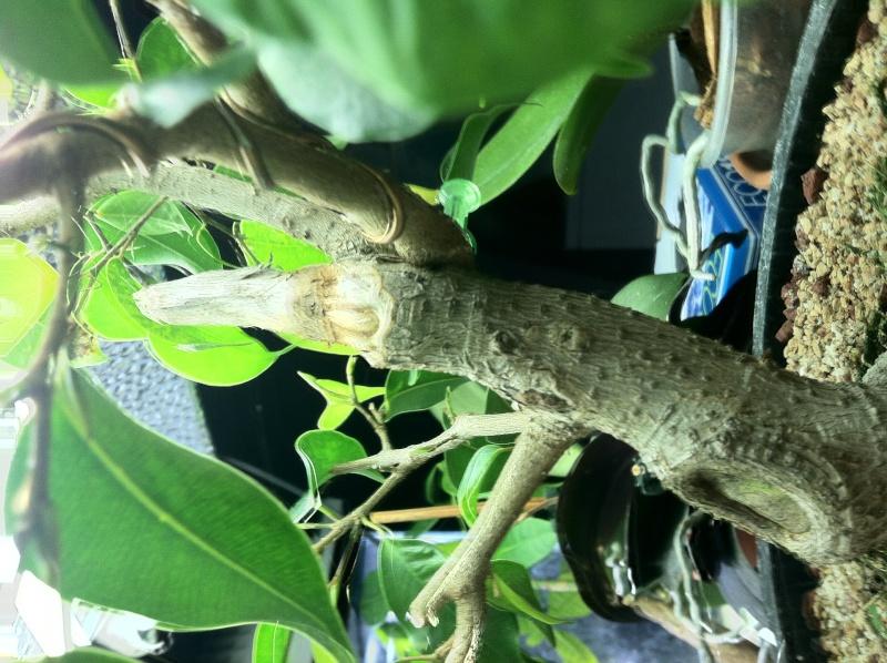 Ficus b. grafting q's Image18
