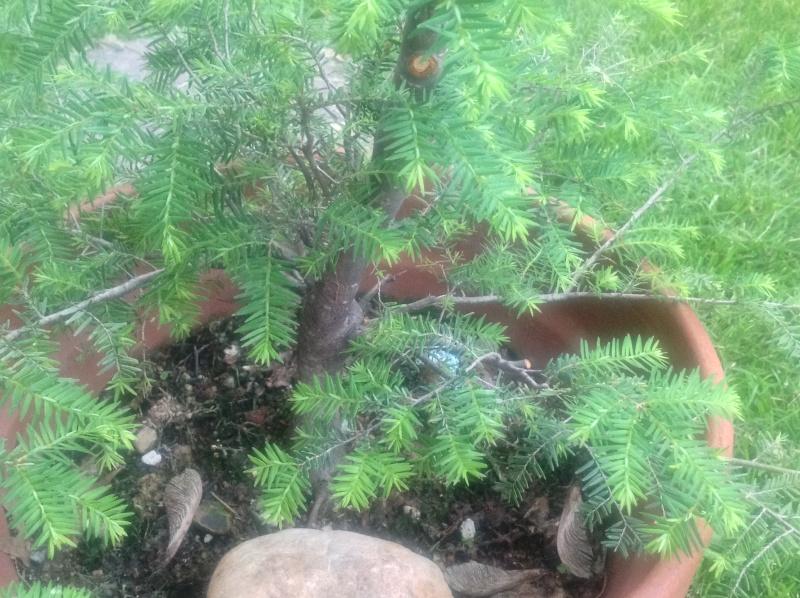 tsuga canadensis Image26