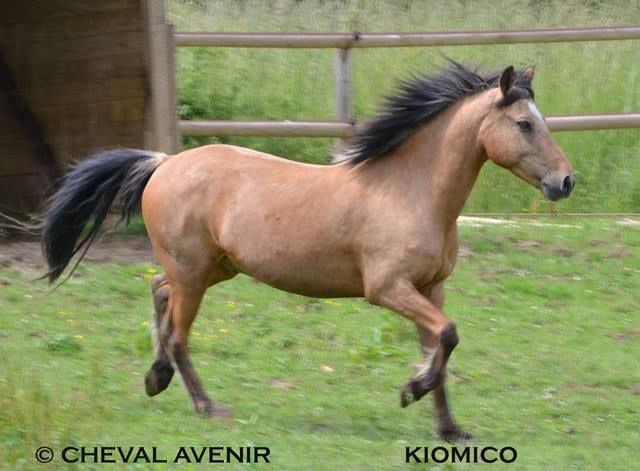 Kiomiko, poney français de selle, 16 ans - ADOPTÉE 10157310