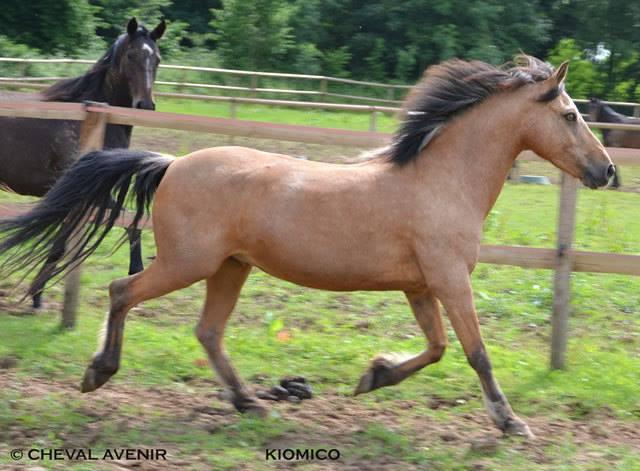 Kiomiko, poney français de selle, 16 ans - ADOPTÉE 10170710