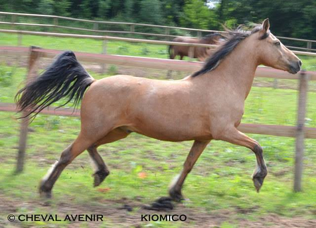 Kiomiko, poney français de selle, 16 ans - ADOPTÉE 10177310