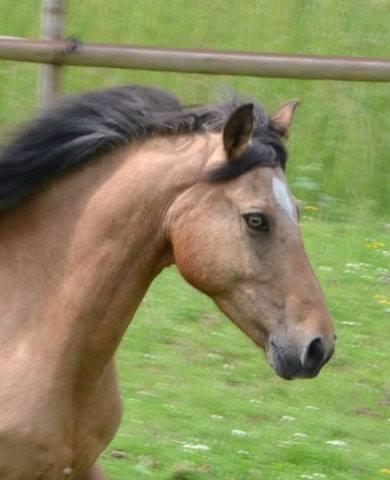 Kiomiko, poney français de selle, 16 ans - ADOPTÉE 12387110