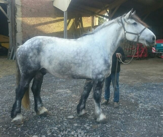 (60) ATHOS - Hongre Trait Percheron né en 2010 -  A ADOPTER (306 € + don libre) 02051710