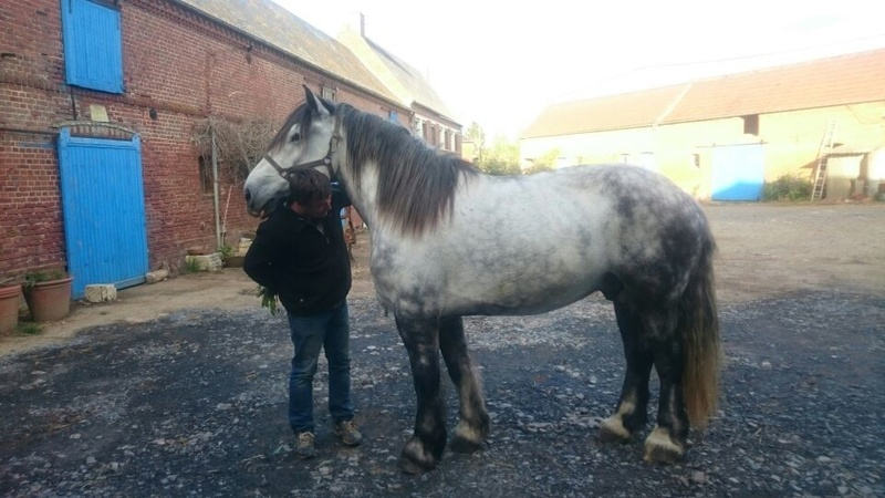 (60) ATHOS - Hongre Trait Percheron né en 2010 -  A ADOPTER (306 € + don libre) 02051711