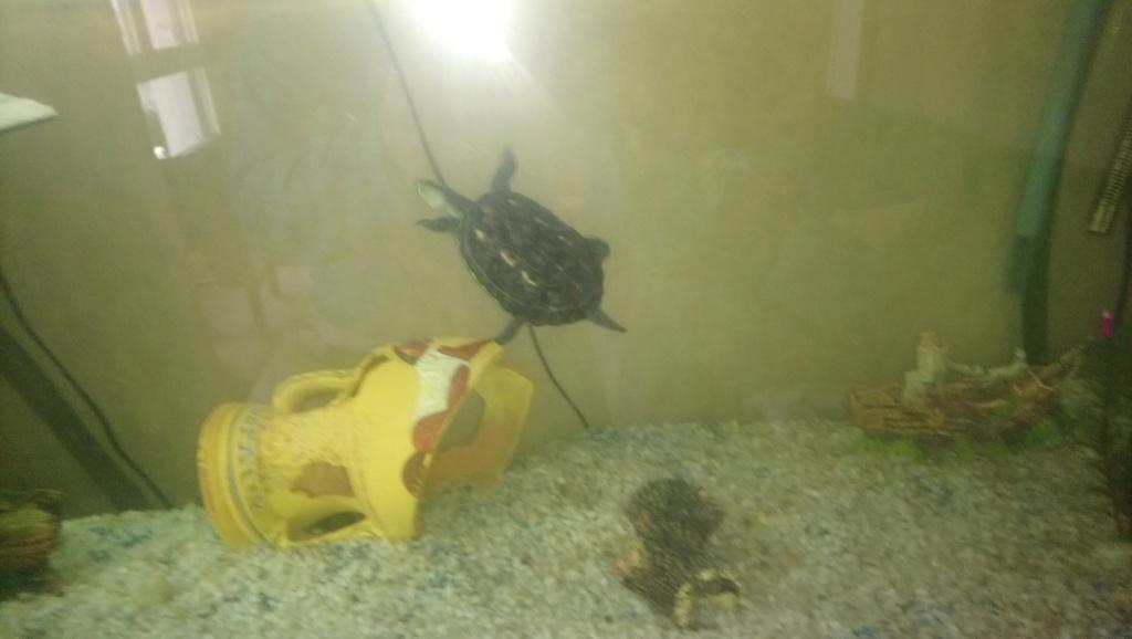 croissance de mes tortues  Dsc_1311
