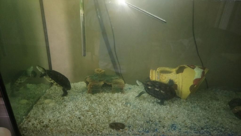 croissance de mes tortues  Dsc_1312