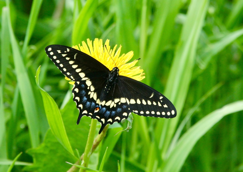 Papillon du céleri Img_0216