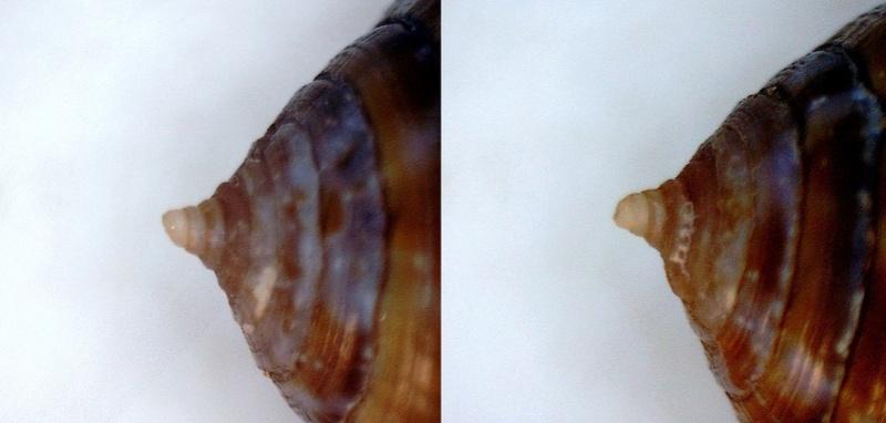 """""""Etrange cone sénégalais - Nouvelle espèce ? 17324110"""