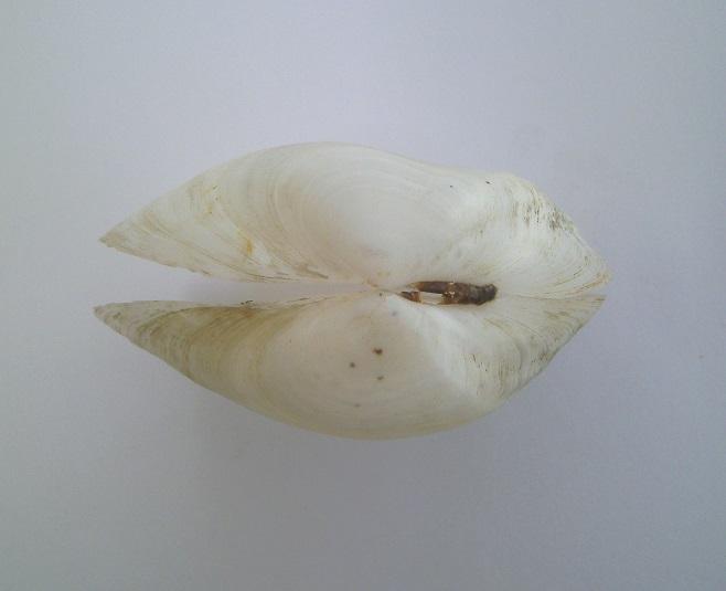 Leporimetis papyracea - (Gmelin, 1791)  Pict0014