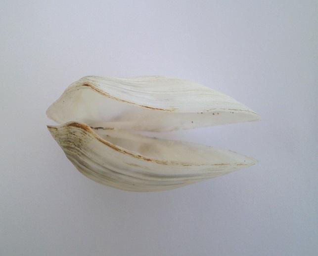 Leporimetis papyracea - (Gmelin, 1791)  Pict0015