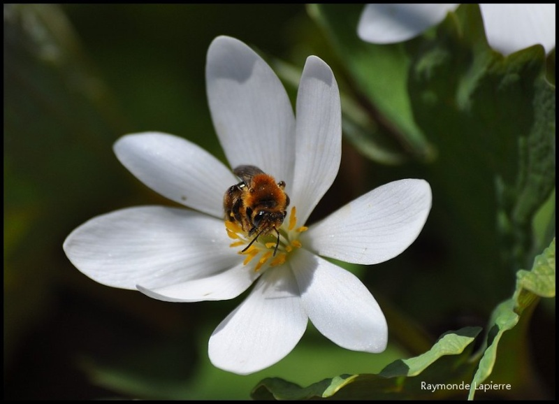 Butineuses sur des fleurs de sanguinaire du Canada Dsc_1118