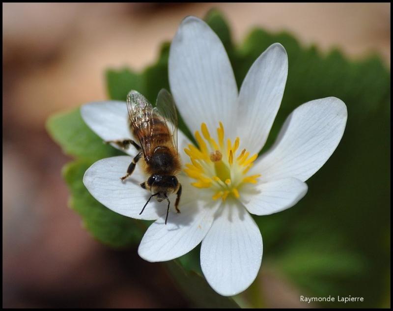 Butineuses sur des fleurs de sanguinaire du Canada Dsc_1212