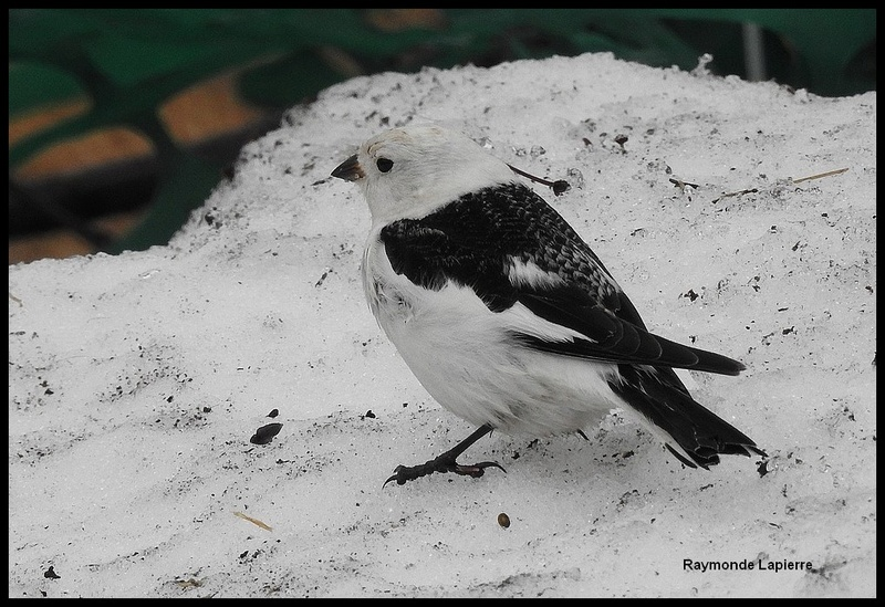 Plectrophane des neiges mâle Dscn7712