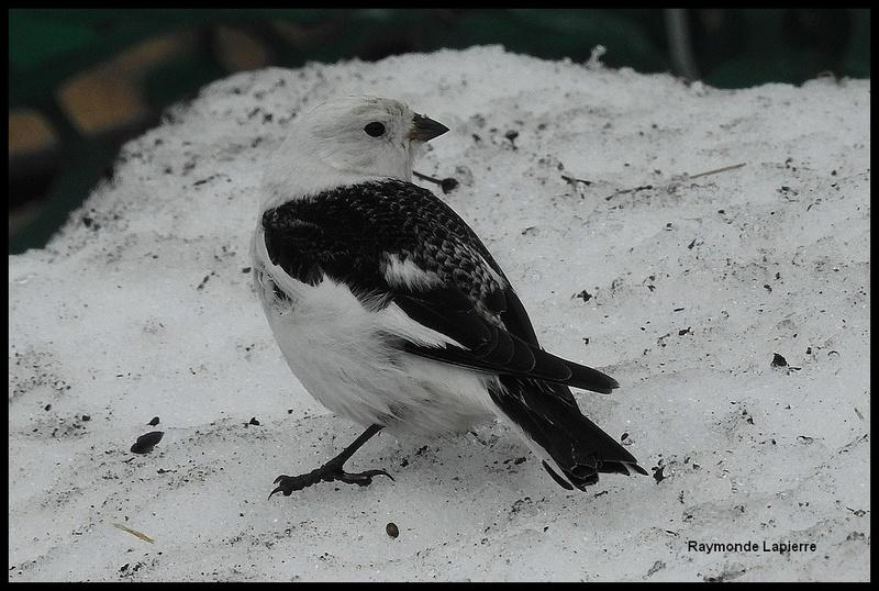 Plectrophane des neiges mâle Dscn7713