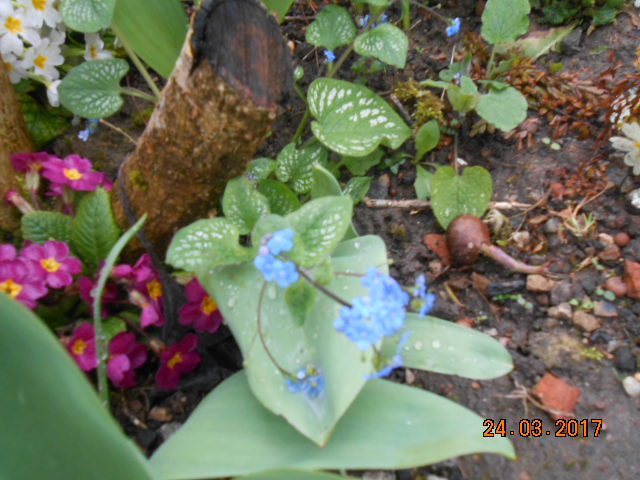 brunnera macrophylla ou myosotis du caucase - Page 2 Dscn3627