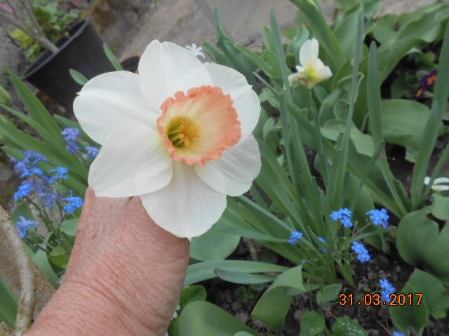 Jonquille, Narcisse - Page 10 Dscn3640