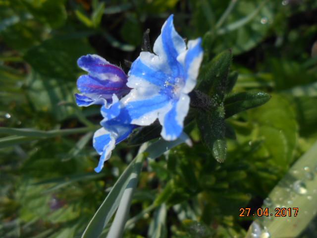 Lithodora diffusa Dscn3878