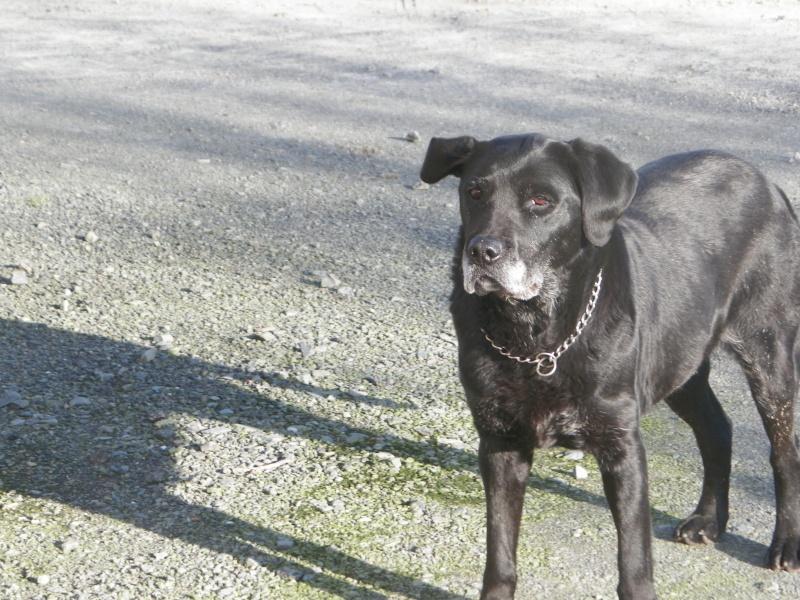 Maya, labrador noire, née en 2004 100_0310