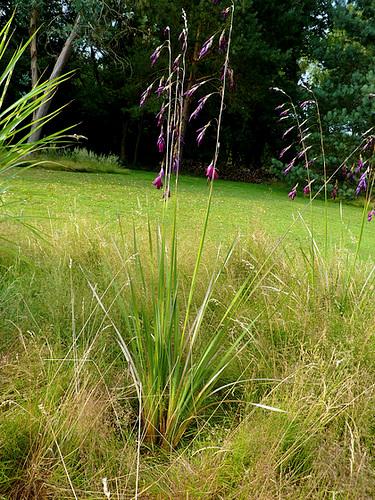 Dierama pulcherrimum 23927410