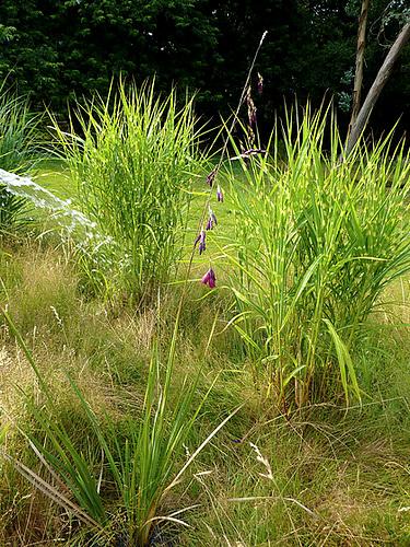 Dierama pulcherrimum 23927411