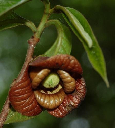 Asimina triloba - asiminier, pawpaw Asimin11