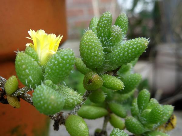 Delosperma echinatum Delosp10