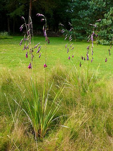 Dierama pulcherrimum Dheeva10