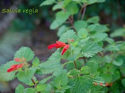 Salvia regla Dsc01710