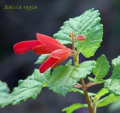Salvia regla Dsc01711