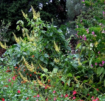Salvia madrensis - sauge de la Sierra Madre Dscf1611