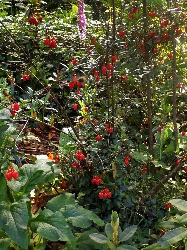 Crinodendron hookerianum Dscf4210