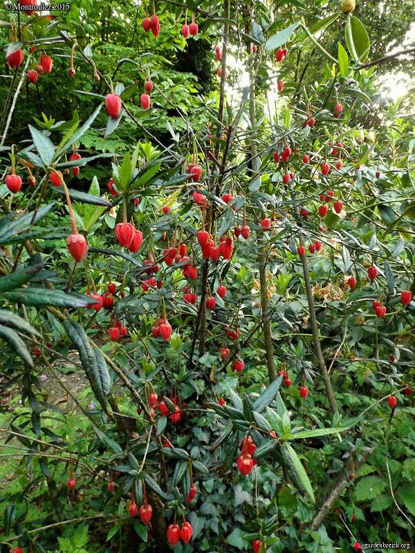 Crinodendron hookerianum Gbpix_11