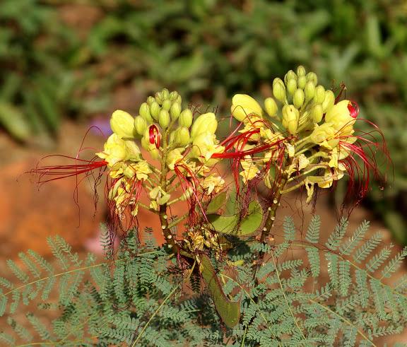 Caesalpinia gilliesii (= Poinciana gilliesii) - petit flamboyant Janvie10