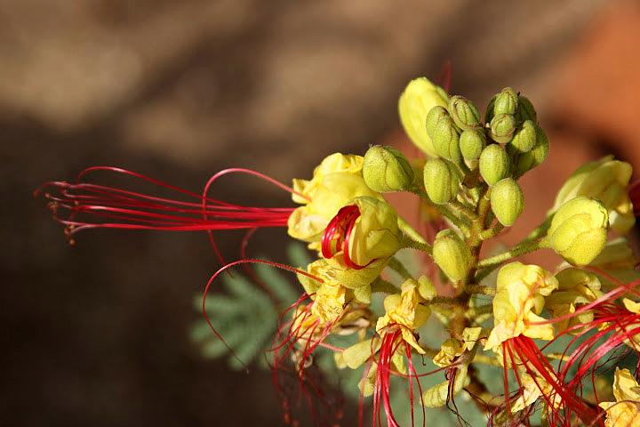 Caesalpinia gilliesii (= Poinciana gilliesii) - petit flamboyant Janvie11