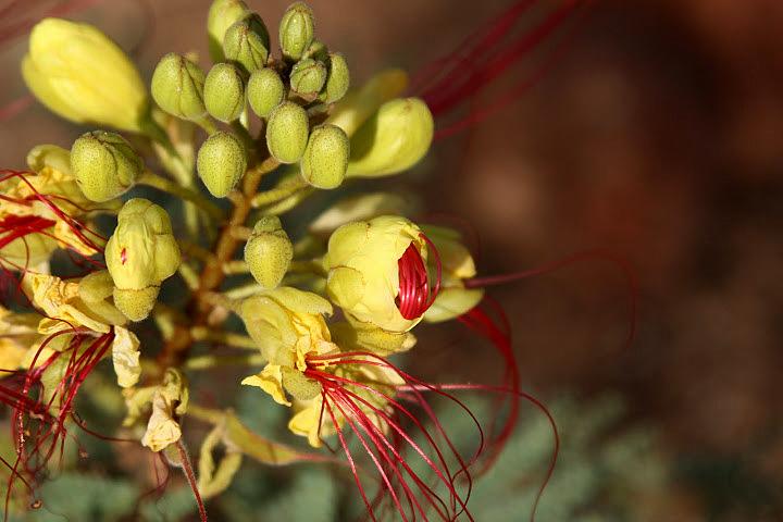 Caesalpinia gilliesii (= Poinciana gilliesii) - petit flamboyant Janvie12