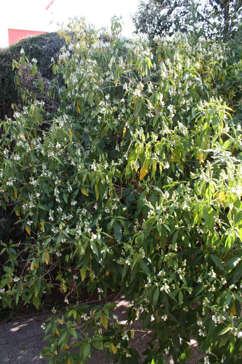 Justicia adhatoda (= Adhatoda vasica) - carmentine en arbre Justic10