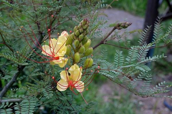 Caesalpinia gilliesii (= Poinciana gilliesii) - petit flamboyant Mai_2010