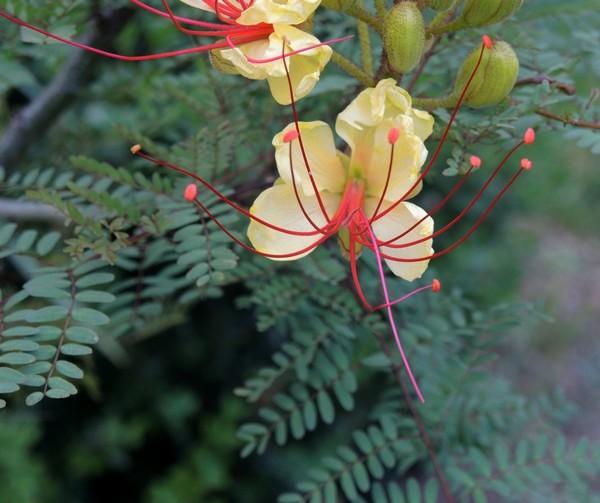 Caesalpinia gilliesii (= Poinciana gilliesii) - petit flamboyant Mai_2011