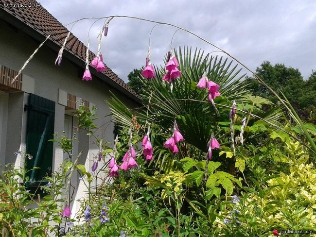 Dierama pulcherrimum Ptivin10