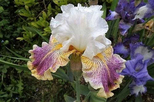 Les Iris plicata - une longue histoire et un bel exemple d'évolution Sordid10
