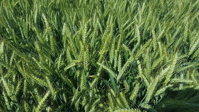 suivi des blés tendre 2017 - Page 10 B17_bo10