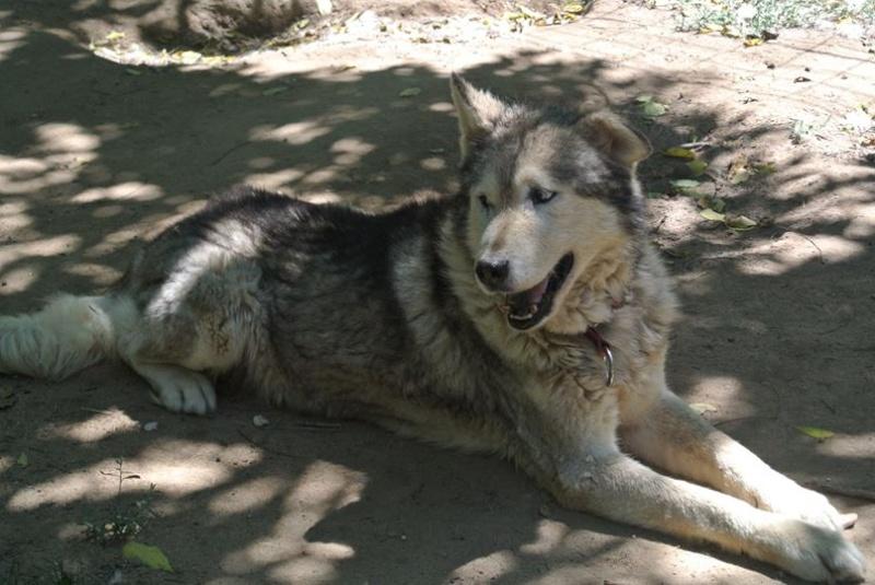 LUCKY Husky 16 ans et demi ASSO65  DECEDE - Page 3 10001110