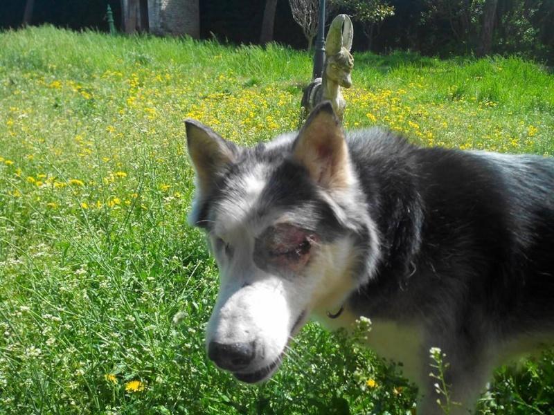 BLUE EYES  8ans, Husky sauvé de Roumanie ASSO65 - Page 2 10012410