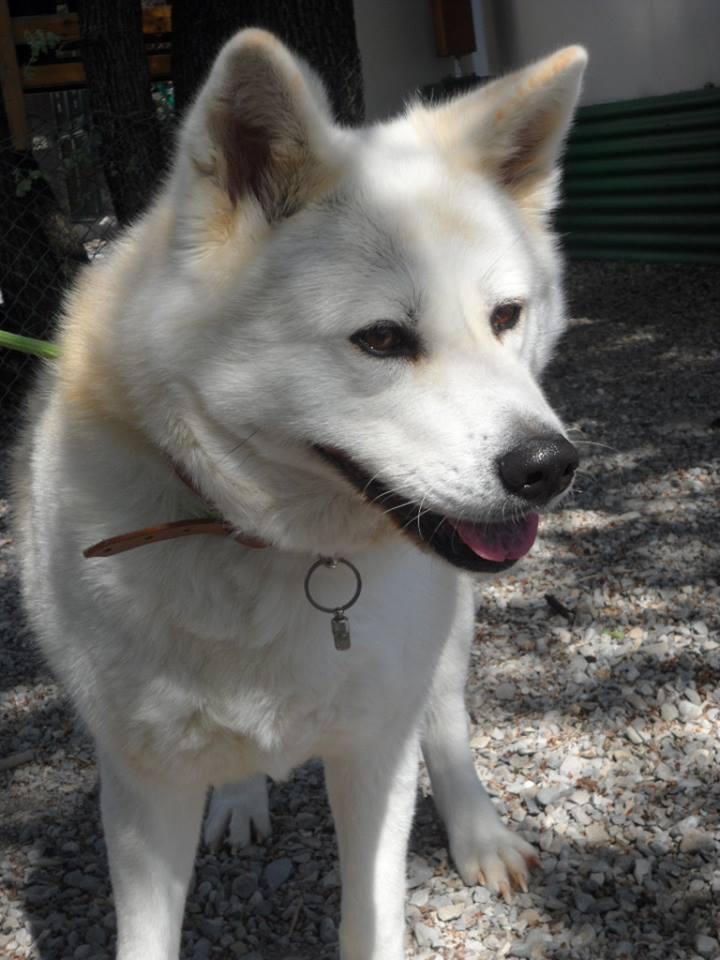 SHON akita Inu, née le 28 juillet 2007(f) REFU04  DECEDEE 10117910