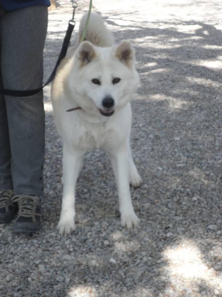 SHON akita Inu, née le 28 juillet 2007(f) REFU04  DECEDEE 10150610